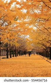 Two rows of ginkgo trees with many autumn yellow leaves falling on the ground. Photoed in The Showa memorial park, Tokyo, Japan.