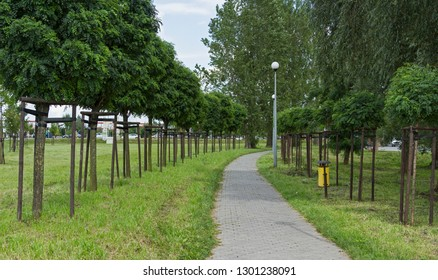 Two rows of Robinia pseudoacacia umbraculifera in the park. alley of Robinia pseudoacacia var. Globosa