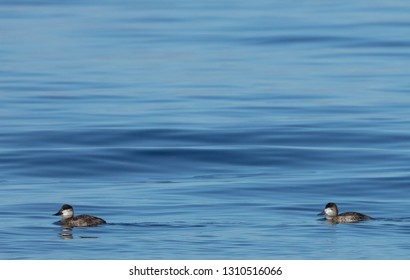 Two ruddy ducks (Oxyura jamaicensis) with a blue water background and lots of copy space