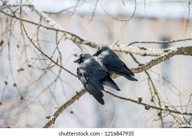 Two ruffled daws on the branch of fir tree looking back to you on cold march day.