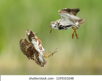 Two ruff's in an air fight wioth a perfect green background