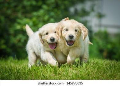 Two running puppy of golden retriever