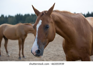 Two Russian Don horses in arena