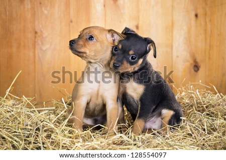 Two Russian Toy Terrier puppies  on a straw on a background of wooden boards