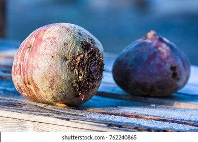 Two rutabaga or swedes left outdoors in the garden on wooden container. Some frost on the wood beside the vegetable.