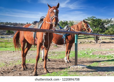 Two saddled red horses stand on a mountain meadow at summer day