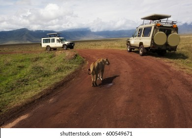 Two safari vehicles are stopped as a lion walks down the road in Ngorongoro Crater in Tanzania, Africa.