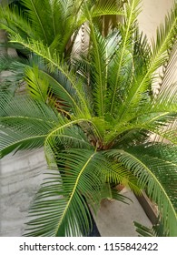 TWO SAGO PALM PLANTS- These Two Sago Palm Plants are very beautiful. Sago plant leaves are sharp at edges. Used for interior decoration. We can see them at Farm houses. People grow them in pots.