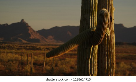 Two Saguaro Cactus  Embracing in a Sonoran Desert Plateau