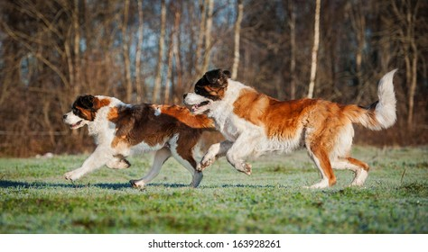 Two saint bernard dogs playing on the meadow