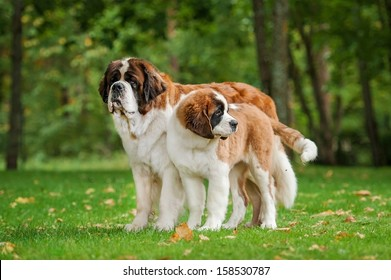 Two saint bernard dogs standing in the park
