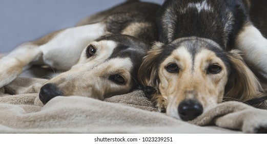 Two saluki dogs sleeping together. Dogs couple.