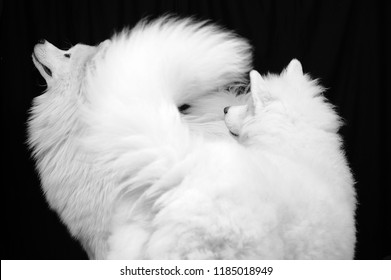two Samoyed dog in a black background; the Samoyed is a breed of large herding dog, from the spitz group, with a thick, white, double-layer coat.