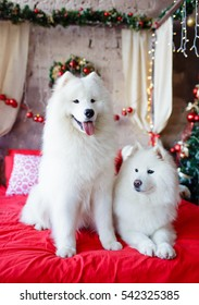 Two samoyed dog in the red bed with Christmas decorations on background