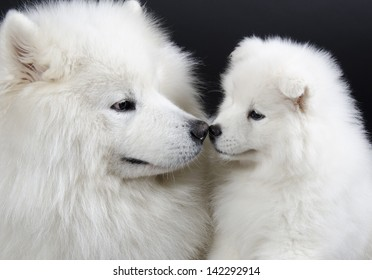Two Samoyed dogs (isolated on a black background)