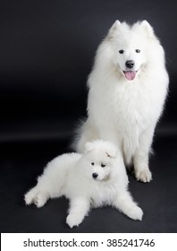 Two Samoyed dogs (on a black background)