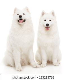 Two samoyed dogs on white background