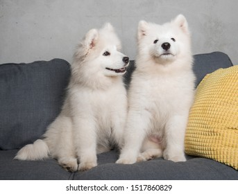 Two samoyed dogs puppies are sitting in the gray couch