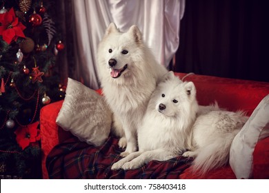 two Samoyed Laika in a Christmas studio