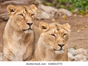 Two samui lions, lionesses (girlfriend or mother and daughter) next to each other are a symbol of female friendship and love.