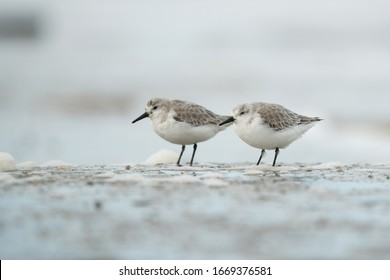 Two sanderling wading birds standing in the ocean on the beach resting