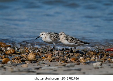 Two Sanderlings (Calidris alba) on a rocky beach along Lake Erie. Sanderlings are small shorebirds that nest in the Arctic and feed along sandy beaches during the winter. September 2021.