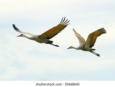 Two sandhill cranes (Grus canandensis) fly overhead against a pale sky.