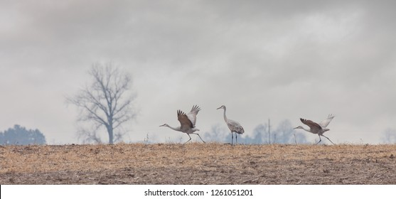 Two sandhill cranes prepare for fight into a stormy autumn sky.