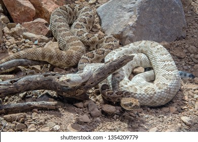 Two Santa Catalina Rattlesnakes Coiled Together