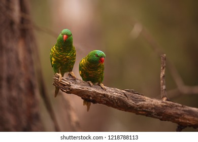 Two Scaly-breasted Lorikeets perched on a branch