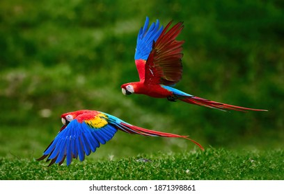 Two Scarlet Macaw parrots, flying just above the ground. Bright red and blue South American parrots, Ara macao, flying with outstretched blue wings in a tropical rainforest, Costa Rica.
