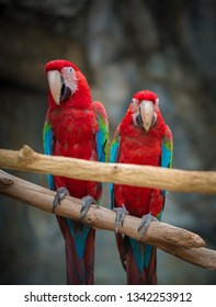 Two Scarlet Macaws perched on a tree branch looking directly into the camera