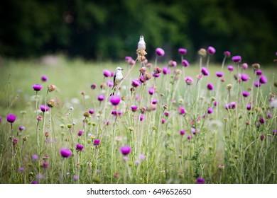 Two Scissor-Tail Flycatcher birds in a field of purple weed wildflowers