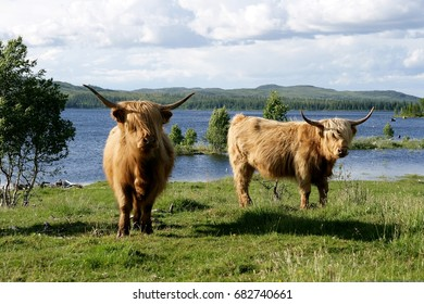 Two Scottish highland cows on pasture