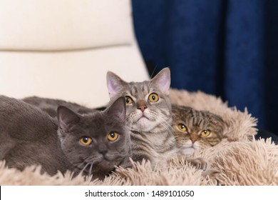 Two scottish straight and one scottish fold cats are lying on a beige chair covered brown plaid and looking up together. Wide open surprising eyes of cats on the image. Close up view. Focus on nose.