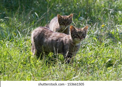 Two Scottish Widcat Kittens in the grass