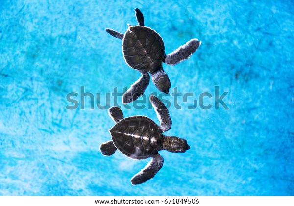 two sea baby turtles swimming in the blue pond in the conversation centre