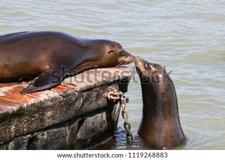 Two sea lion sniff