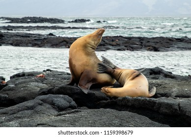 Two sea lions posed on the rocks on Fernandina Island in the Galapagos Islands