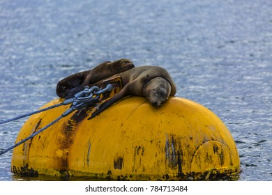 Two sea lions sleeping on a bouy in the harbor at San Diego California USA.