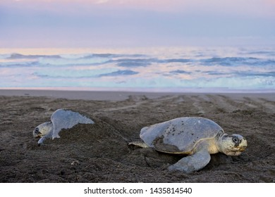 Two sea turtles laying nests on the beach with pink and blue sunrise colors in the sky reflecting in the ocean.