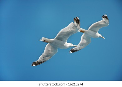 Two seagulls in flight against clear blue sky