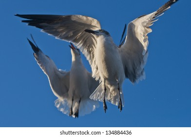 Two Seagulls Flying In The Blue Sky