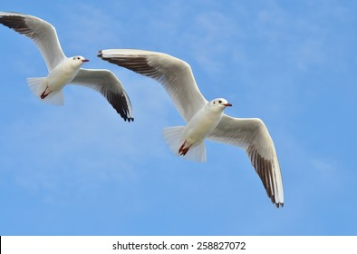 Two seagulls flying with open wings on blue sky.