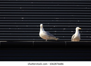 Two seagulls in front of black wall, Denmark