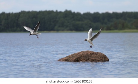 Two seagulls, one of which flew over water and other sat down, beautiful flight, harmonic symmetry, duplicity. Rhythm and plastic of flight of birds. Art photography, aesthetics and natural beauty