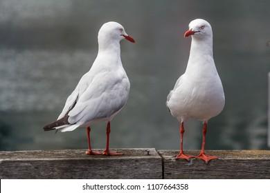 Two seagulls posing on a riverbank in Sydney, Australia