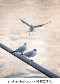Two seagulls sitting on metal rod over bright water while a third seagull is incoming