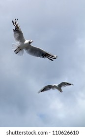 two seagulls, soaring in the blue sky