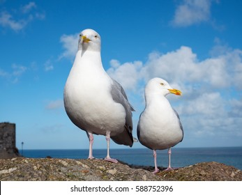 Two seagulls in St. Ives, Cornwall England UK.